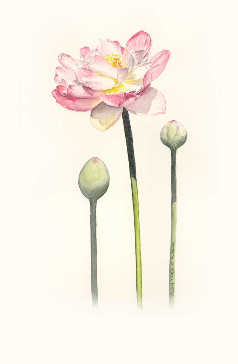 WaterLily Watercolour Illustration