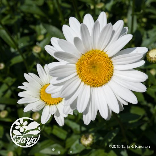 DaisyJN29_fb