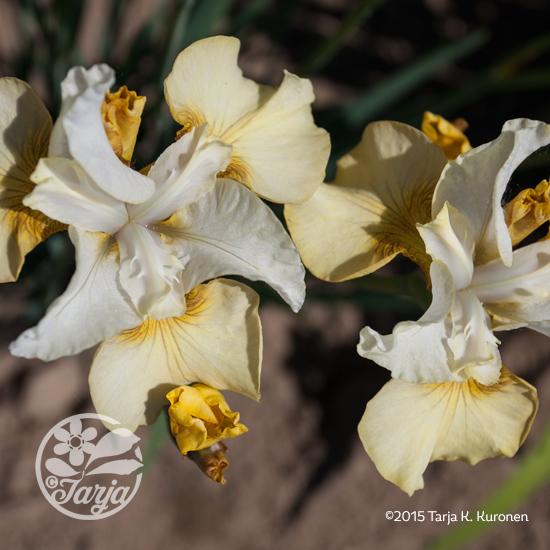 Iris_Yellow1