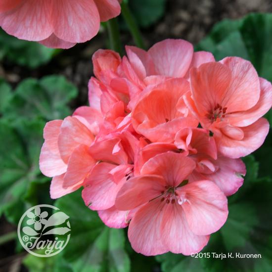 Pelargonium2_June2015