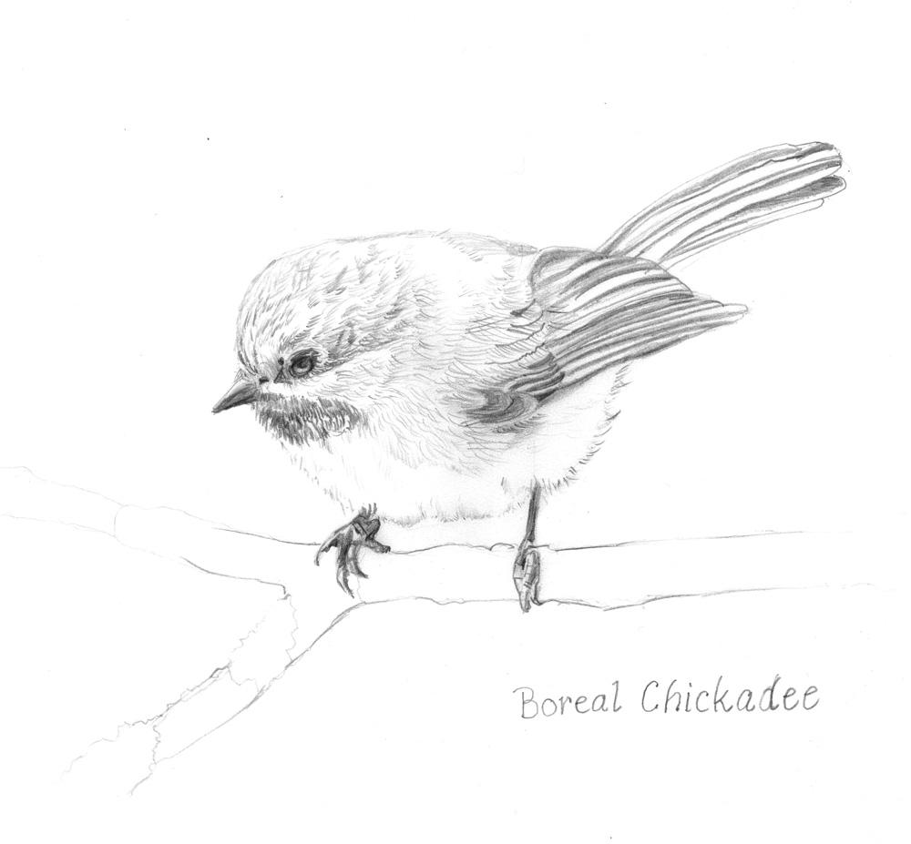 Boreal-Chikadee-R1-Apr9